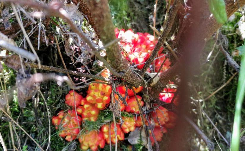 #Putigas #Cytinus hypocistis #Carvalhas # สวยงาม #amaising #huawaiphotography …