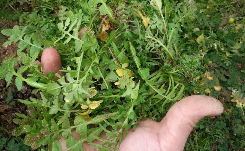 """จาน """"gulnik"""" กับหญ้า radica ชื่อท้องถิ่นนั้นอร่อยมาก! . . . แท็ก #radik ถึง …"""