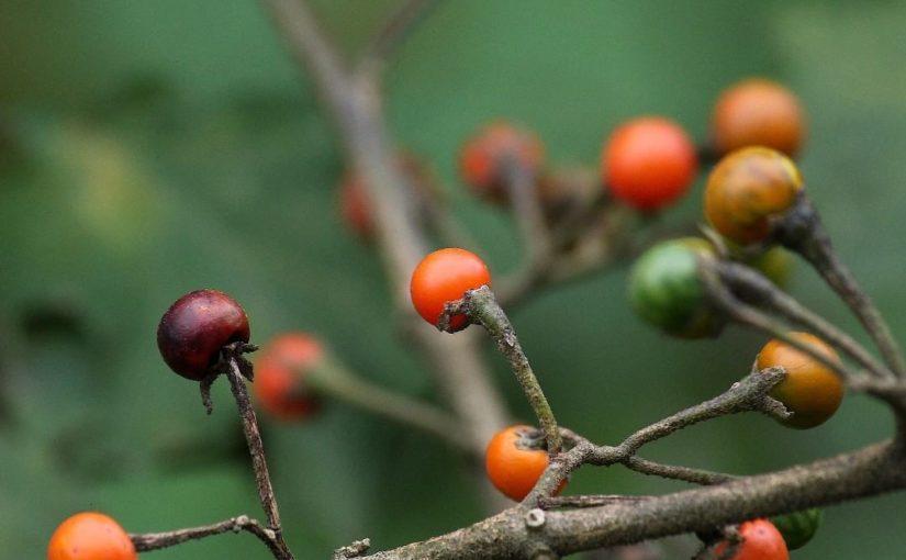 สีสันในธรรมชาติ  รู้จักกันในนามการส่งเสริมภูมิคุ้มกันและเป็นสมุนไพรที่ดีสำหรับเลือด …