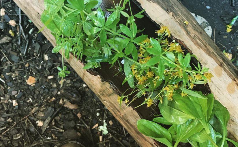 พืชที่กินได้ในป่าได้สะสมอย่างรวดเร็วในการผลิตอาหาร ปังตอดอกแดนดิไลอันไป …